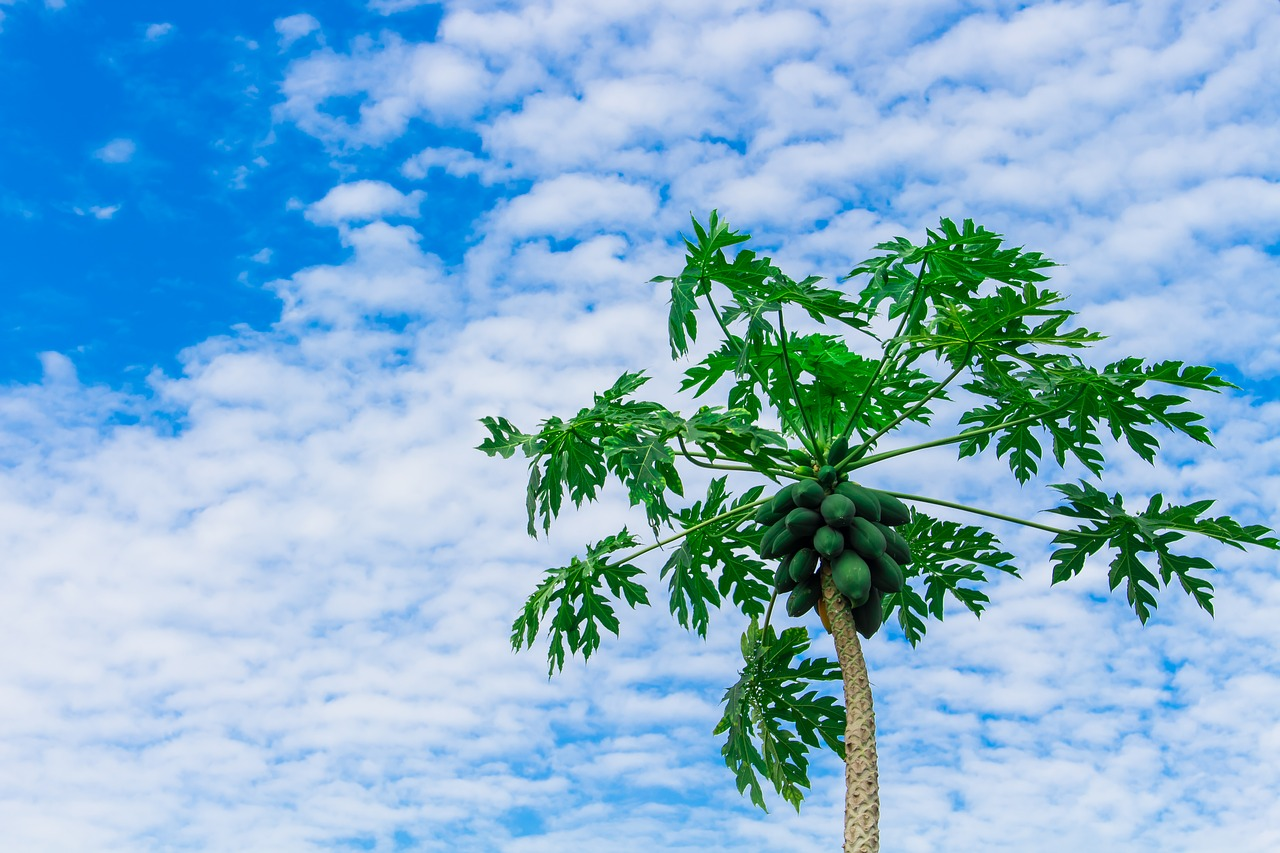 papaya-tree-2918226_1280